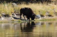 Free Buffalo At The Watering Hole Stock Photo - 1540950