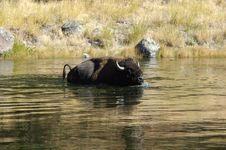 Free Buffalo Swimming Royalty Free Stock Images - 1540999