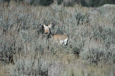 Baby Pronghorn Antelope Royalty Free Stock Images