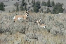 Pronghorn Antelope With A Baby Stock Image