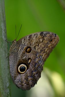 Owl Butterfly (Caligo Memnon) Royalty Free Stock Image