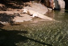 Free White Alligator Stock Photography - 1541812