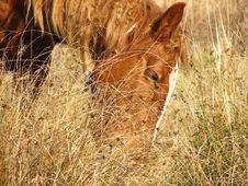 Free Wild Horse Detail Stock Image - 1542291
