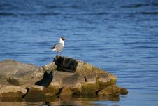 Free Gull Stock Images - 1542554