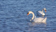 Free Swan Royalty Free Stock Image - 1542556