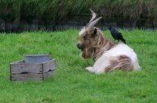 Free Goat With A Bird On His Back Royalty Free Stock Photos - 1542598