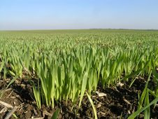 Free Wheat Stock Photo - 1542990