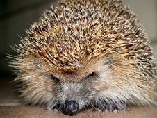 Free Hedgehog Stock Photography - 1543202