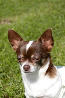 Free Chihuahua Royalty Free Stock Photos - 1543268