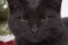 Face Of Black Cat Stock Image