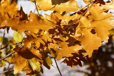 Autumn Golden Oak Leaves Royalty Free Stock Photo