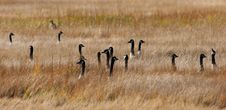Free Confused Canada Geese Stock Photography - 1546532
