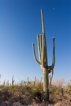 Free Saguaro And Blue Sky Stock Photography - 1549322