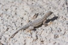 Free Side-blotched Lizard, Female Stock Images - 1549334