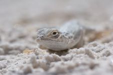 Free Side-blotched Lizard Macro Royalty Free Stock Images - 1549369