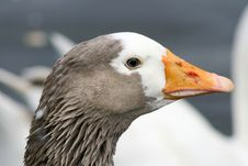 Goose Close Up Stock Photography