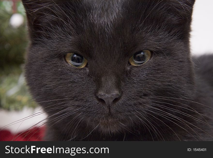 Face of black cat