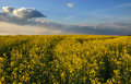 Free Canola Field Stock Images - 15403374