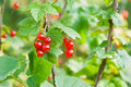 Free Red Currants Royalty Free Stock Photos - 15404738