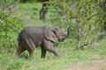 Free Elephant Calf Trumpeting Royalty Free Stock Photo - 15406315