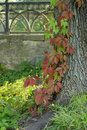Free Ivy On A Tree Stock Photo - 15408830