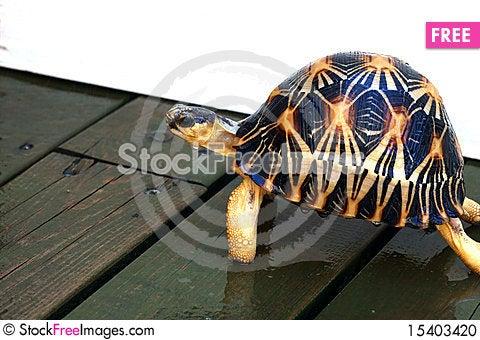 Free Radiation Turtle Stock Photo - 15403420