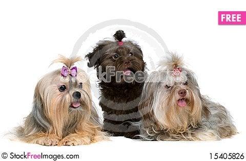 Free Three Lap-dog In Studio Royalty Free Stock Image - 15405826