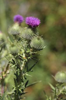 Free Wild Thistle Weed Royalty Free Stock Photography - 15400207