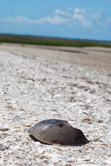 Free Horseshoe Crab At Beach Royalty Free Stock Images - 15400949