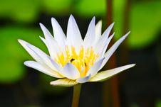 Free White Lotus Royalty Free Stock Photos - 15401138