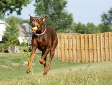 Free Doberman Playing Ball Stock Photography - 15401502