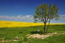 Free Canola Field Stock Image - 15402881