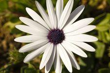 Free Gerbera, Daisy Royalty Free Stock Photography - 15403787