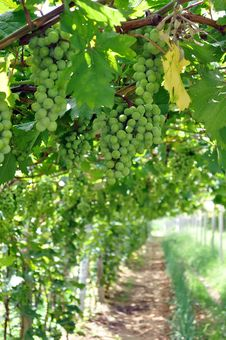 Free Grapes Hanging From A Vine Royalty Free Stock Images - 15403789