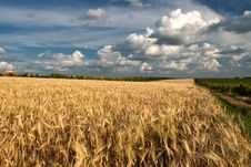Free Wheat Field Stock Image - 15403941