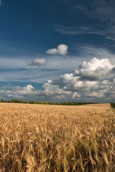 Free Wheat Field Royalty Free Stock Photography - 15403957