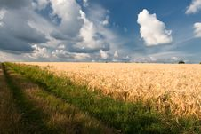 Free Wheat Field Royalty Free Stock Photography - 15404057