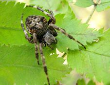 Black Crossed Spider On The Leaf Stock Photography