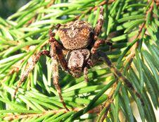 Black Crossed Spider On The Leaf Stock Photo