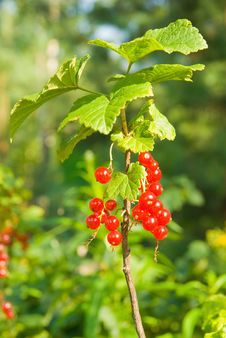 Free Red Currants Branch Stock Photography - 15404792