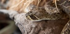 Free Rattle Snake Royalty Free Stock Images - 15405029