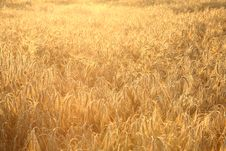 Free Field Of Rye Royalty Free Stock Photo - 15405435