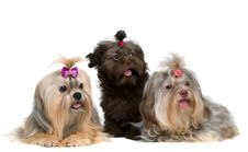 Free Three Lap-dog In Studio Royalty Free Stock Image - 15405826
