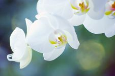 Free Orchid Royalty Free Stock Photo - 15405995