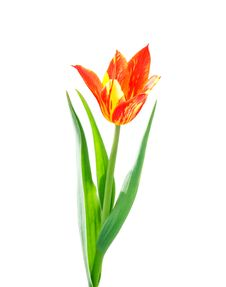 Free Red And Yellow  Tulip On White Background Royalty Free Stock Photos - 15406178