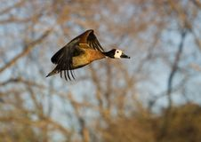 Free White-faced Duck In Full Flight Stock Images - 15406744