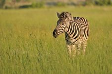 Free Plains Zebra On The African Savanna Royalty Free Stock Image - 15406796