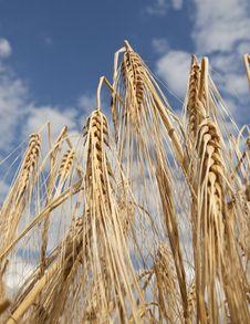 Free Barley Stock Images - 15406924