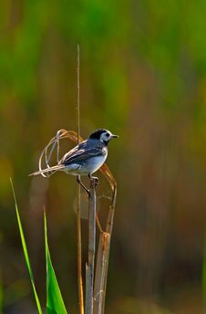 Free White Wagtail  In Backlight Royalty Free Stock Image - 15406986