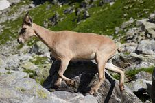 Free Wild Tur In A Caucasus Mountains Royalty Free Stock Photos - 15408378
